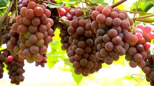 Produção de uva cresce em Santa Teresa e expectativa é de safra aumentar 30%