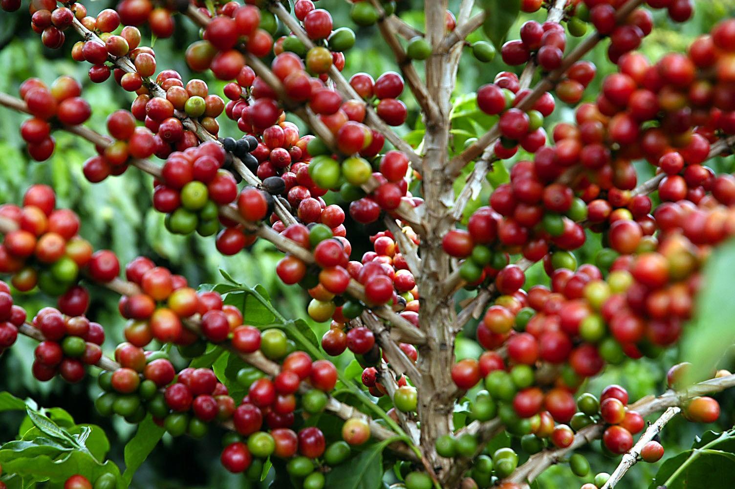 Safra de café do Brasil cresce 37% em 2018 e chega a recorde de mais de 61 milhões de sacas, diz Conab