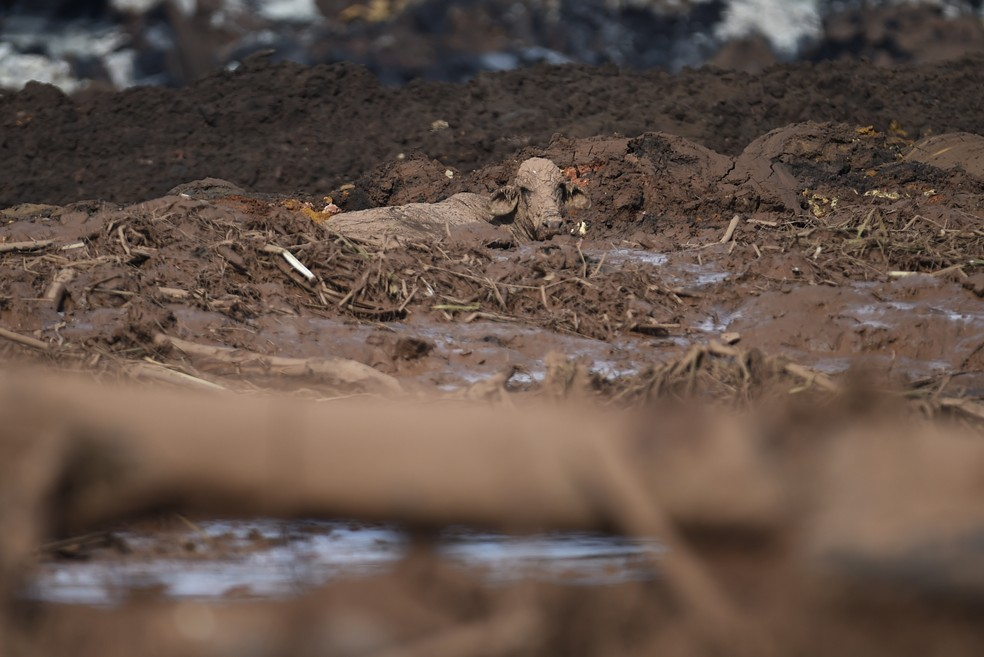 Uma vaca em meio à lama após rompimento de barragem em Brumadinho; para ex-ministro, Congresso falhou ao não atualizar legislação para o setor — Foto: AFP/Douglas Magno