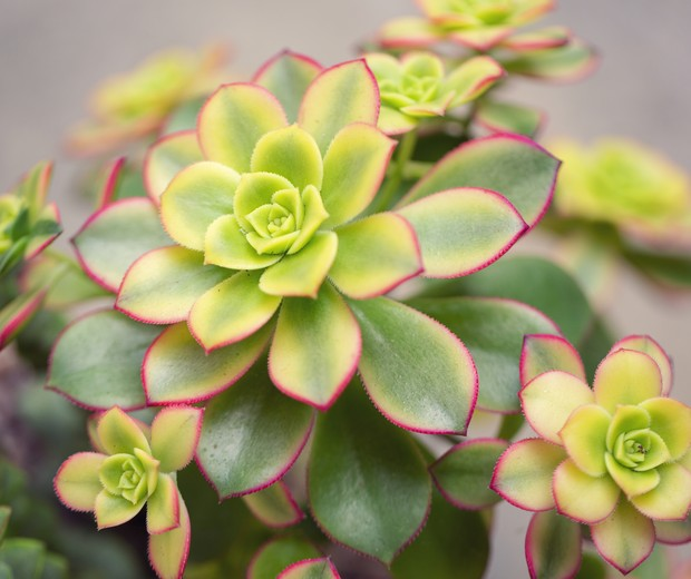 Colorful display of various Kiwi Aeonium plants (Foto: Getty Images)