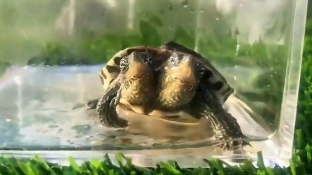 Tartaruga de duas cabeças encontrada na China (Foto: Reprodução)