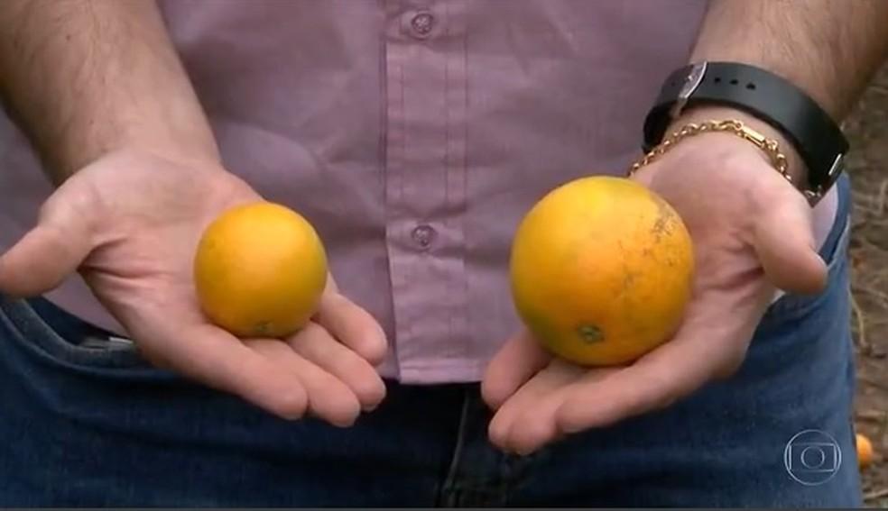 Baixo volume de chuvas e altas temperaturas nas regiões produtoras estão limitando o crescimento das laranjas — Foto: Reprodução/Globo Rural