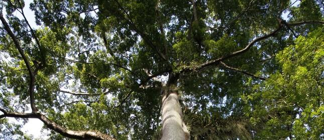 Samaúma, árvore da Amazônia