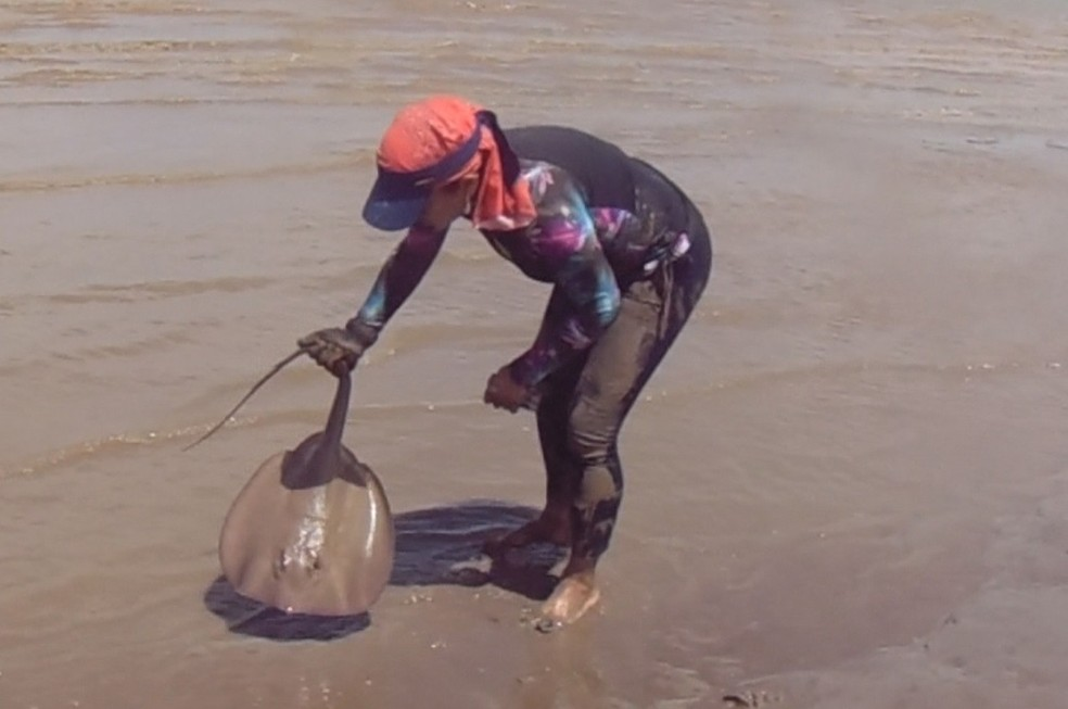 Pesquisadora Cecile Gama fazendo coleta de uma arraia na estação ecológica — Foto: Iepa/Divulgação