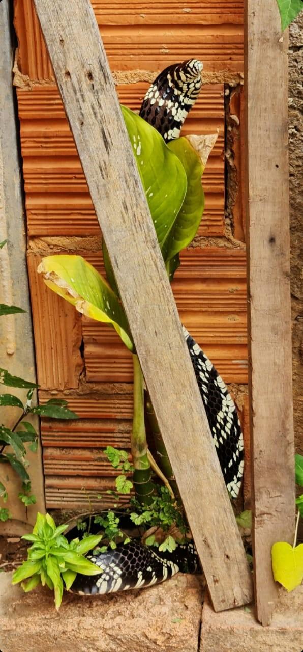 Cobra caninana de 1,5 metro é capturada em quintal de casa, em Montes Claros