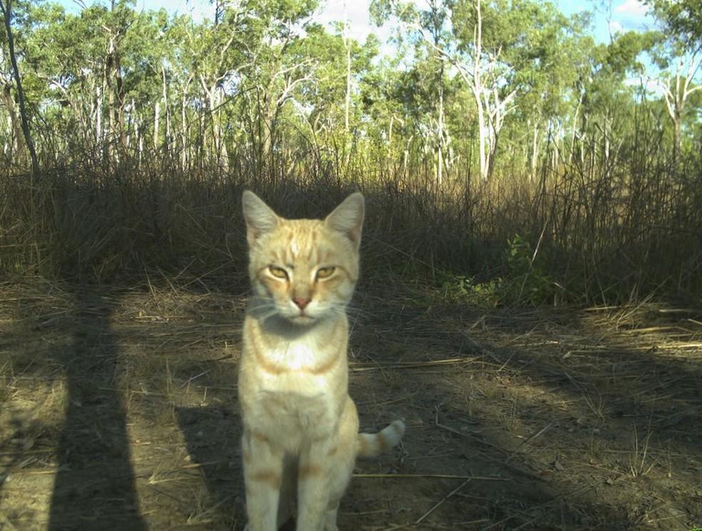 Gato em floresta na Austrália em foto divulgada ela Universidade de Queensland, que realizou o estudo (Foto: University of Queensland/Northern Territory/AFP)