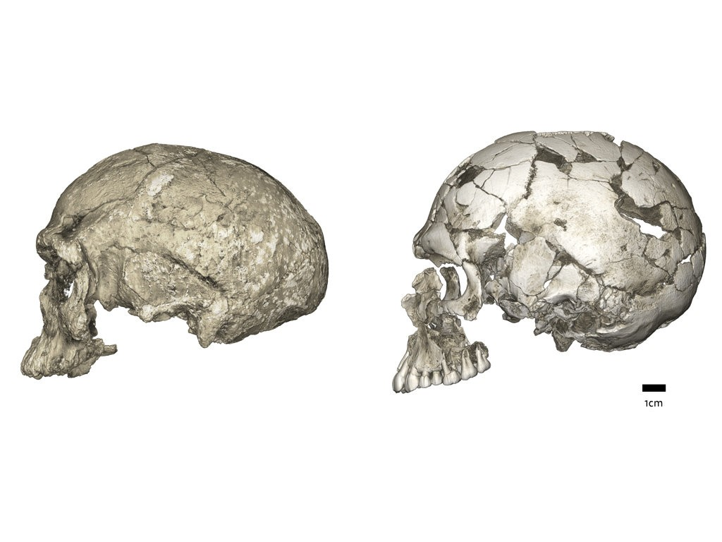Mudanças evolutivas da forma da caixa craniana de uma forma alongada para uma forma globular. Este último evolui dentro da linhagem do Homo sapiens através de uma expansão do cerebelo e abaulamento do parietal. À esquerda: micro-tomografia computadorizada de Jebel Irhoud 1 (~ 300 mil anos); Direita: Qafzeh 9 (~ 95 mil anos). (Foto:  Philipp Gunz, Instituto Max Planck de Antropologia Evolutiva)
