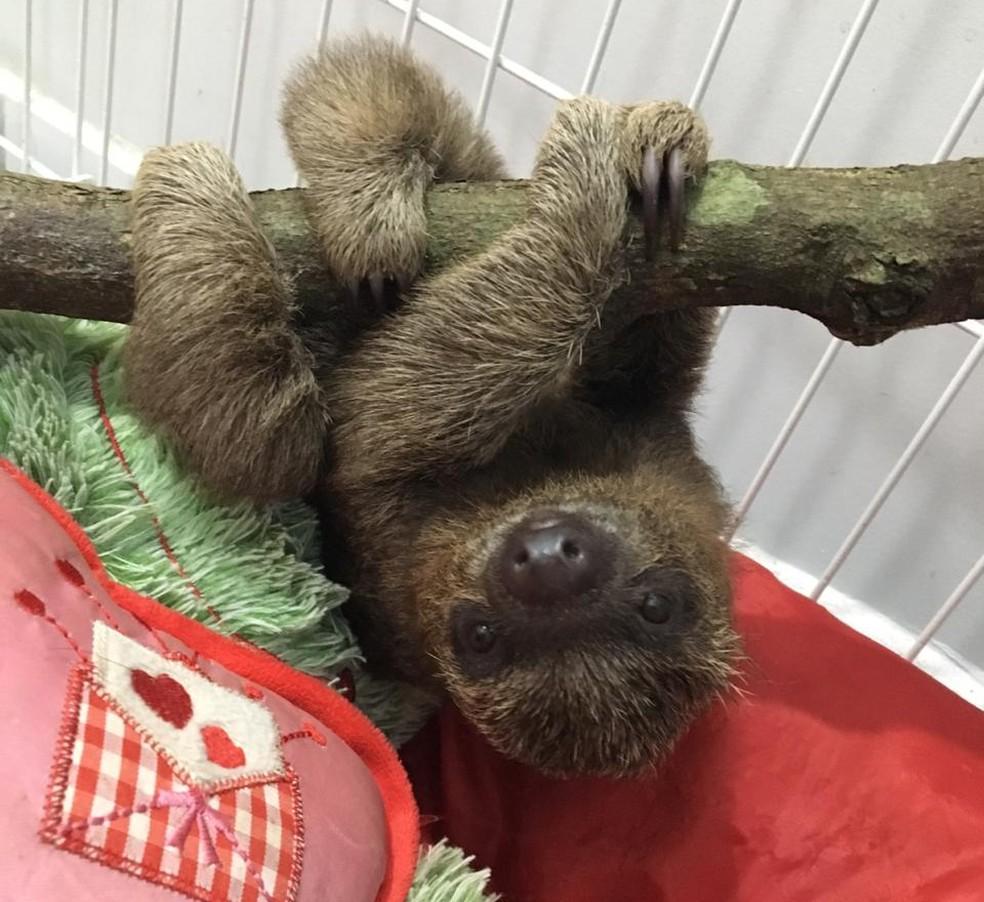 Filhote de preguiça 'chora' após perder a mãe e recebe tratamento para voltar à vida silvestre — Foto: Arquivo pessoal