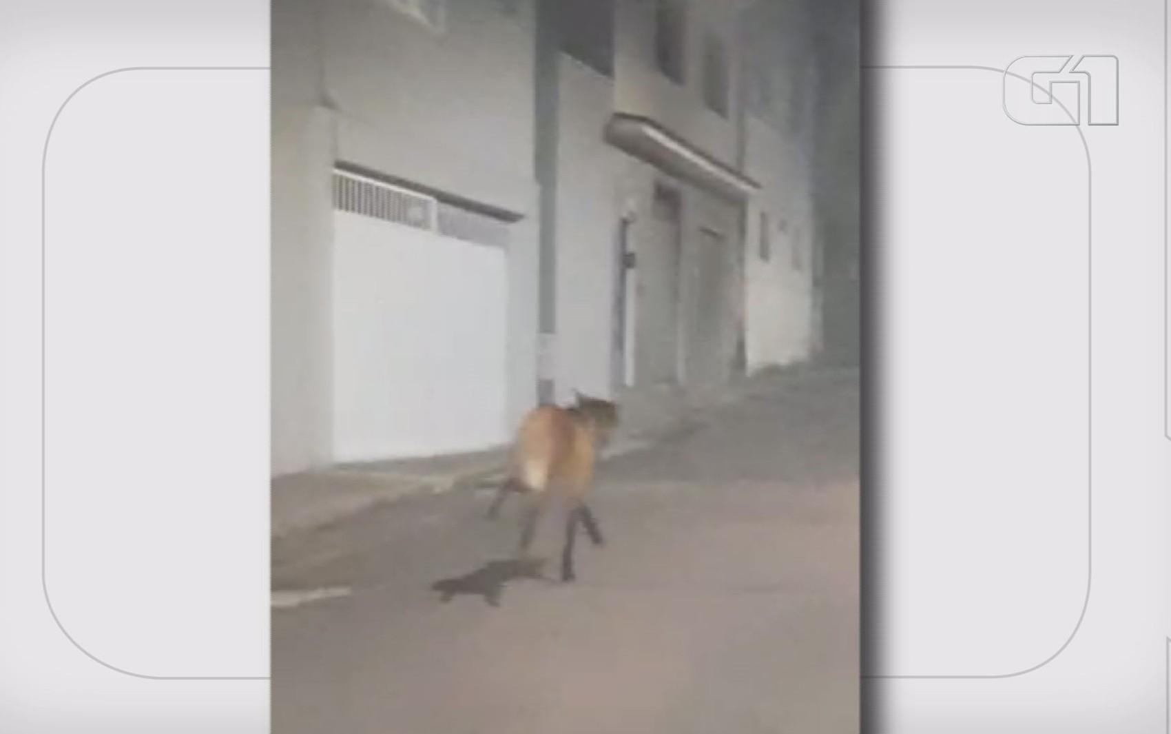 Lobo-guará é flagrado correndo em ruas do Centro de Varginha; VÍDEO