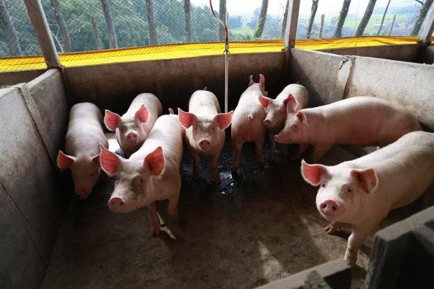 Embarque de carne suína de SC fecha setembro com 57,7 mil toneladas comercializadas