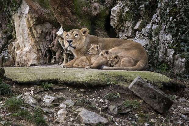 Filhotes de leões asiáticos se deitam ao lado da mãe Shiva (Fot AP Photo/Laurent Cipriani)