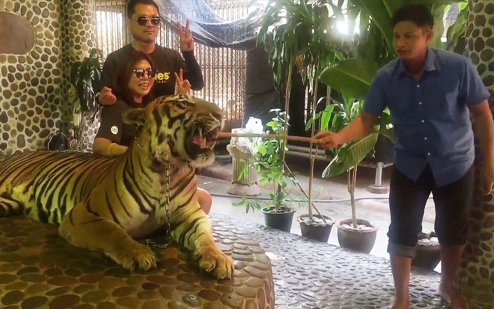 Maus-tratos a tigre para selfies de turistas revolta Tailândia