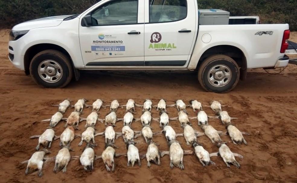 Pinguins encontrados mortos em praias de Florianópolis. — Foto: Rodrigo Tiburski/R3 Animal