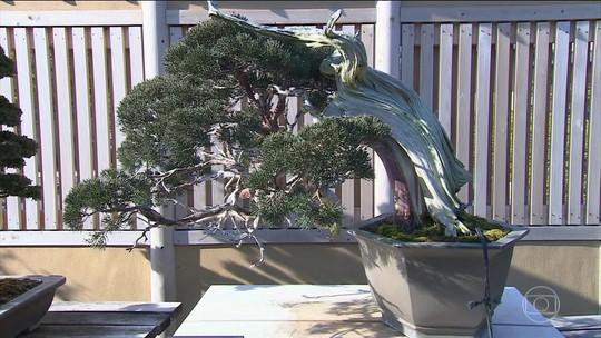 Cultivo de bonsais no Japão une arte, técnica e paciência