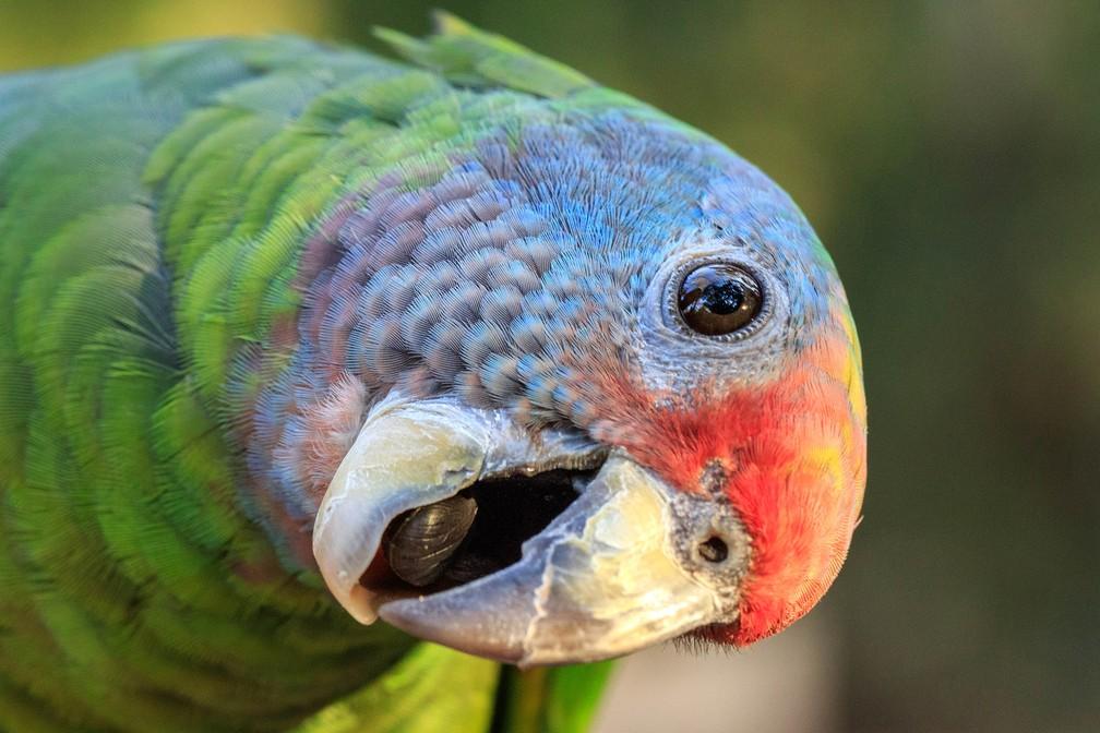 Papagaio é um exemplo de animal silvestre; animal não pode ser retirado da natureza  (Foto: Belmira McLeod/VC no TG)