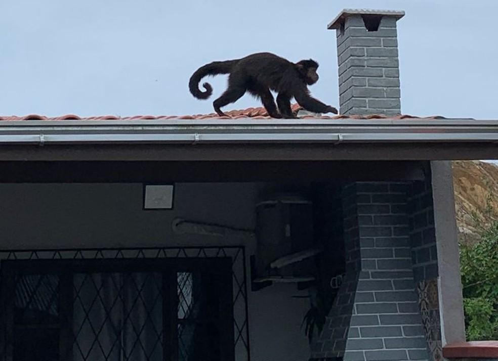 Macaco em cima de telhado de casa em São Francisco do Sul — Foto: Mateus Fernandes/Arquivo pessoal
