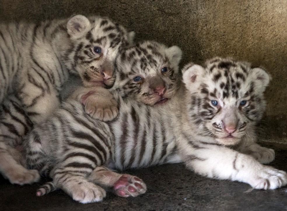 Três filhotes de tigre-branco no zoológico La Pastora, em Monterrey, México — Foto: Julio Cesar Aguilar/AFP