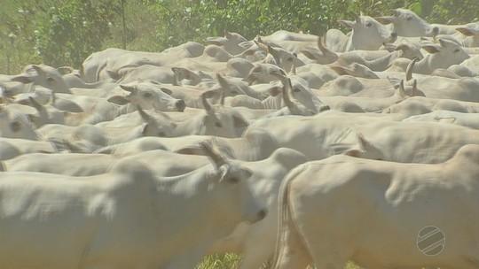 Com dois frigoríficos fechados, produtores da região oeste de MT enfrentam dificuldades para abater animais