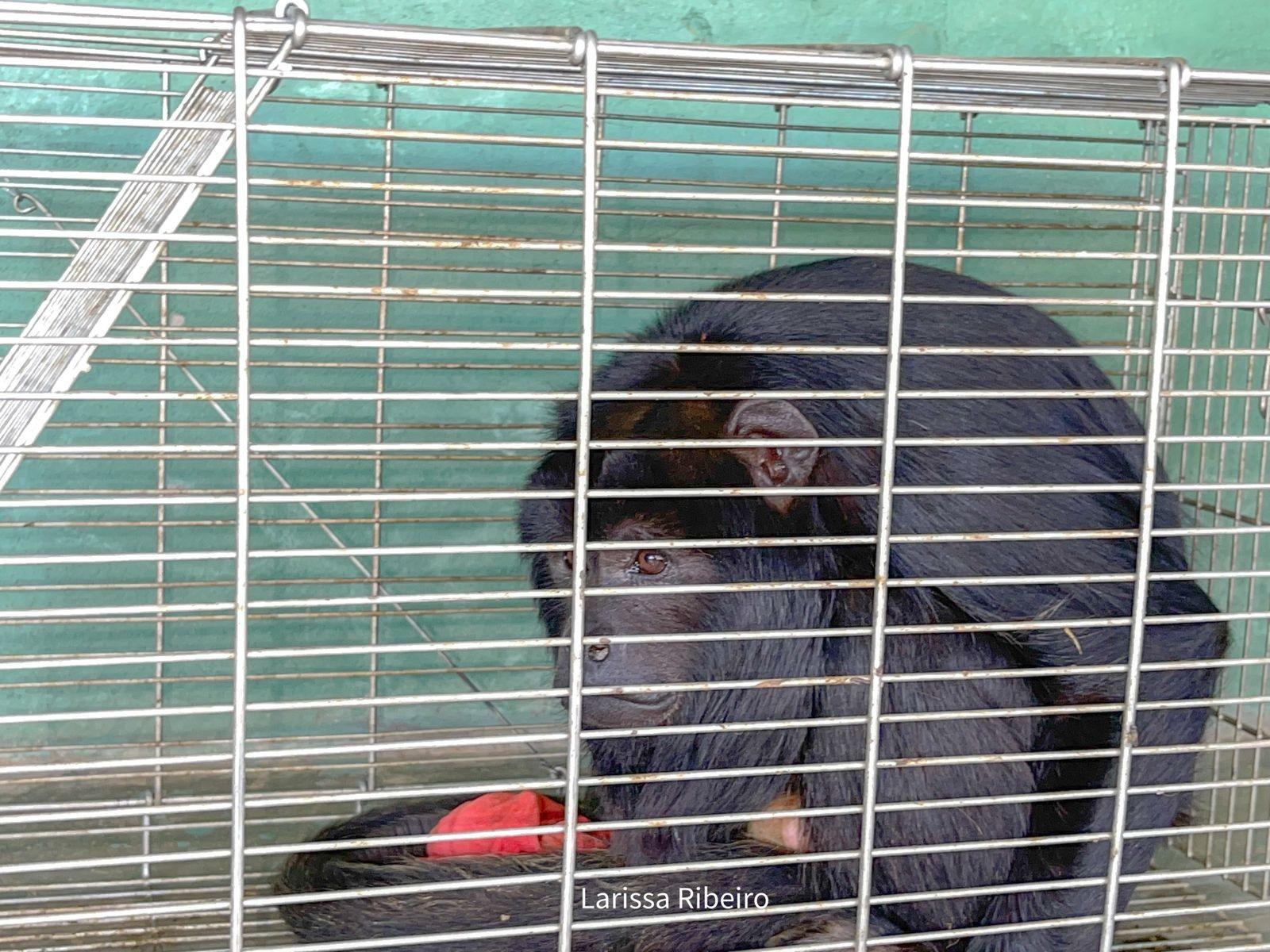 Vídeo: macaco bugio é resgatado após atacar moradores em São Raimundo Nonato, Sul do Piauí