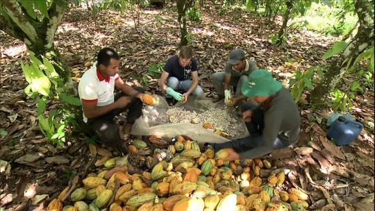 Liderança na produção brasileira de cacau 'volta para casa' no Pará com a união de agricultores