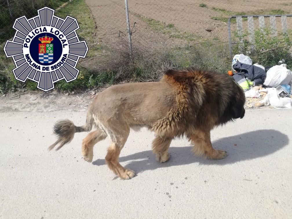 Cachorro confundido com leão é 'investigado' por polícia na Espanha — Foto: Reprodução/Polícia Local de Molina de Segura/Twitter