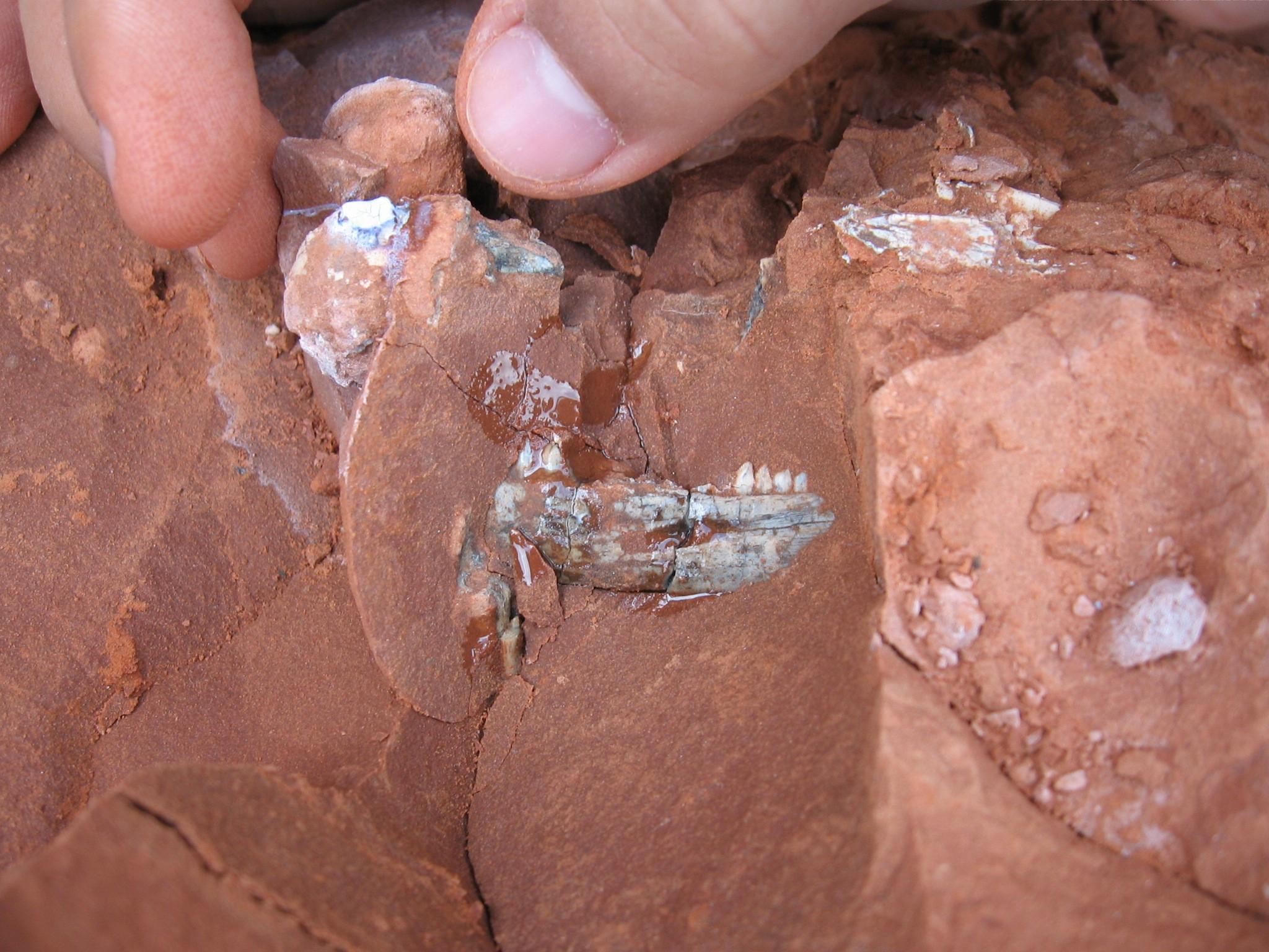 Primeiros restos do Bagualosaurus agudoensis como foi encontrado na rocha. Alguns dentes do animal podem ser vistos no centro da imagem. (Foto: Cristina Bertoni-Machado.)
