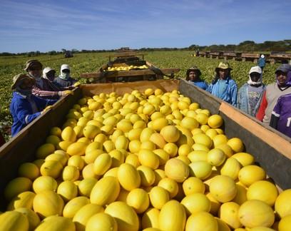Exportação brasileira de melão cresce quase 1000% após fim da safra espanhola
