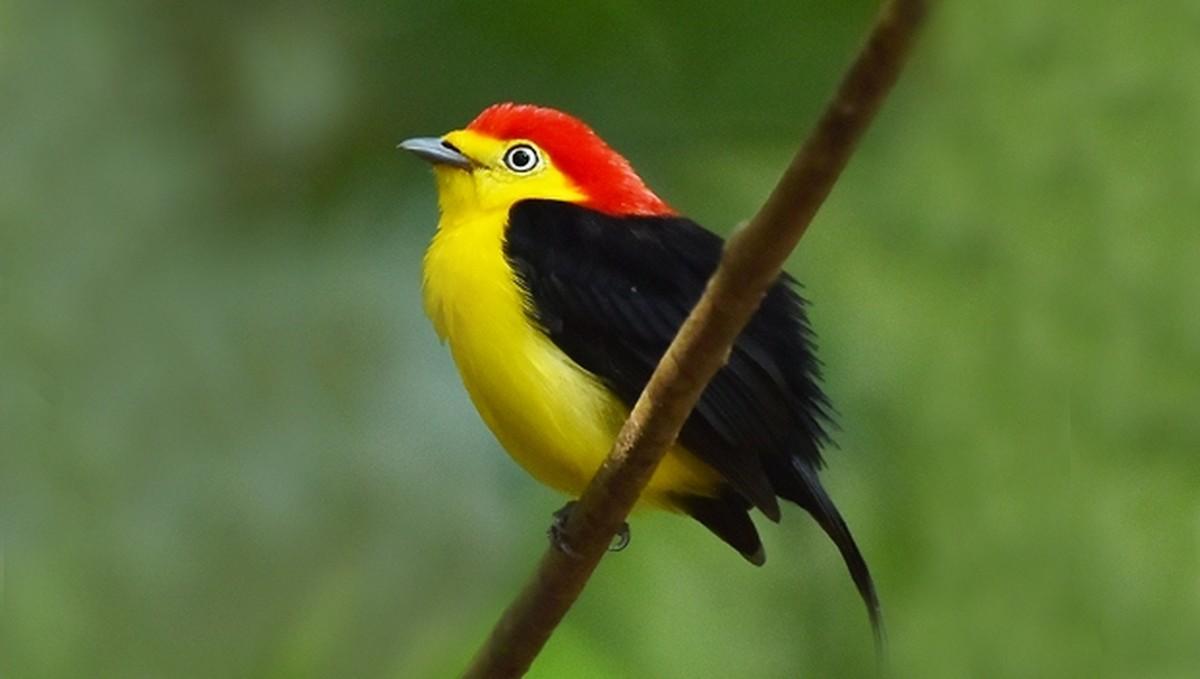 Aves exibem plumagem e dançam para conquistar a fêmea