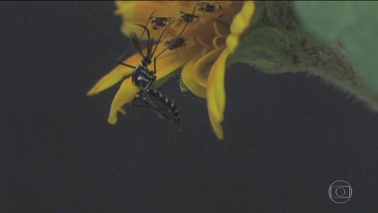 Dois tipos de mosquito foram responsáveis por transmitir Febre Amarela no Brasil