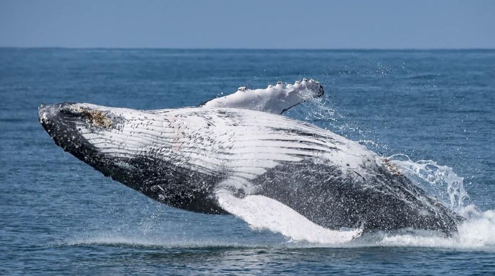 A caça de baleias com fins comerciais levou algumas espécies quase à extinção — Foto: Projeto Baleia à Vista