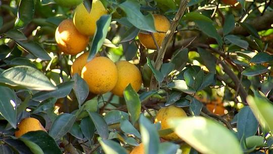 Safra de laranja deve ser uma das melhores dos últimos anos no Centro-Oeste Paulista