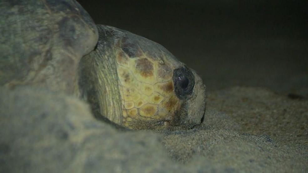 Agora é a época que as tartarugas marinhas deixam seus ovos nas praias do Norte capixaba — Foto: Reprodução/TV Gazeta