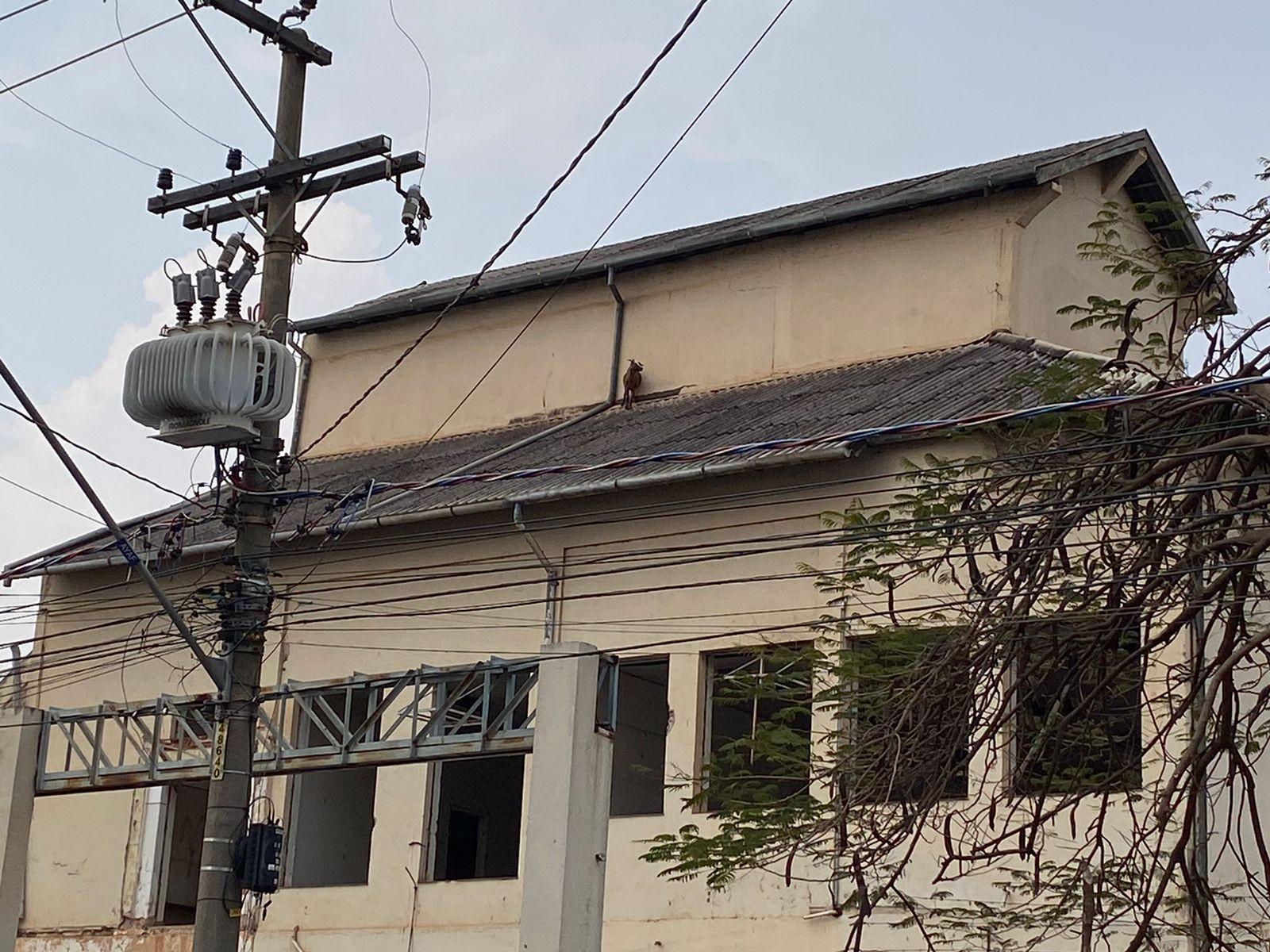 Cabra sobe em telhado de antiga cervejaria de Ribeirão Preto, SP, e mobiliza bombeiros; VÍDEO