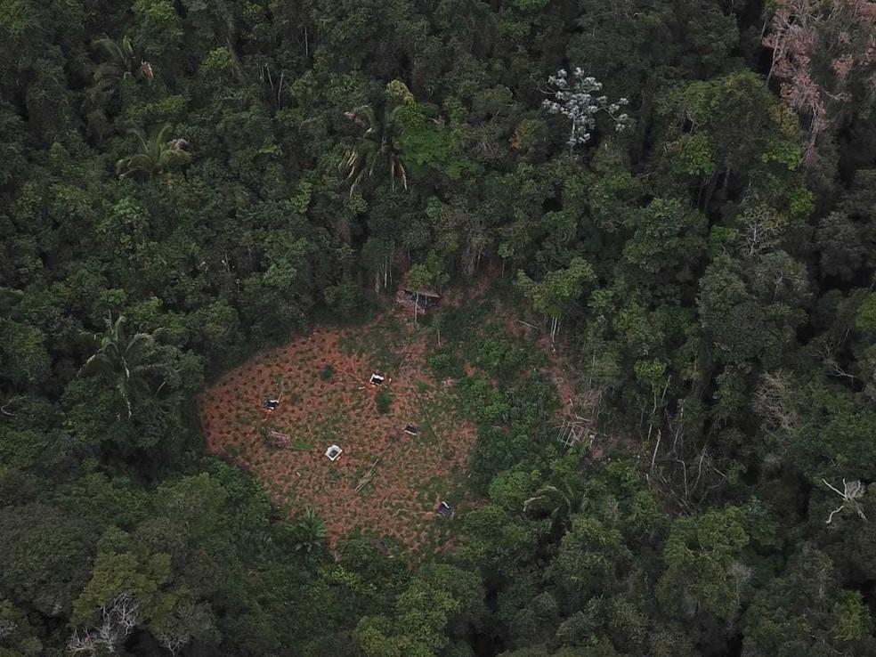Plantação totalizava cerca de 10 mil pés de maconha — Foto: Divulgação SSP-BA