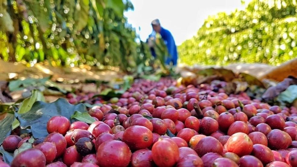 Colheita de café em Rondônia — Foto: Renata Silva/Embrapa