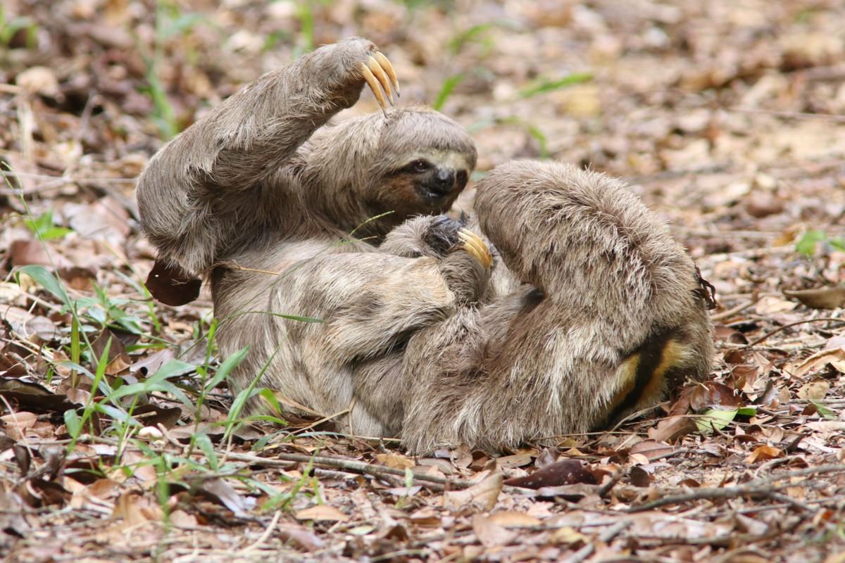 Preguiças brigam e são fotografadas em trilha de reserva da Bahia