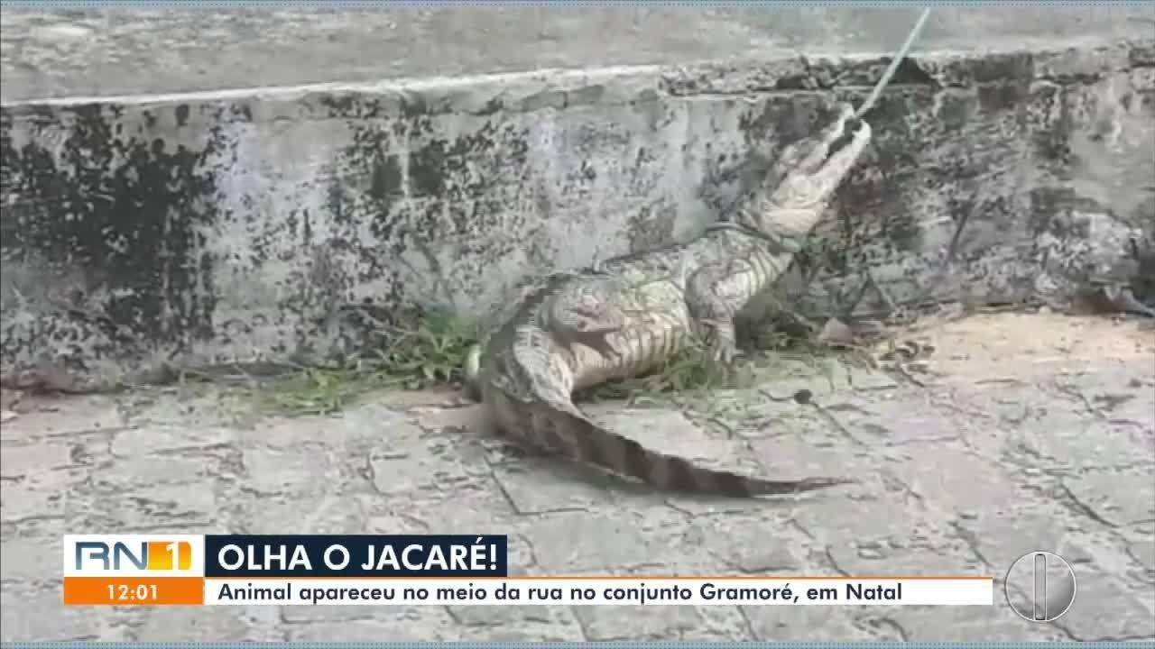 Jacaré aparece no meio da rua no Conjunto Gramoré, em Natal