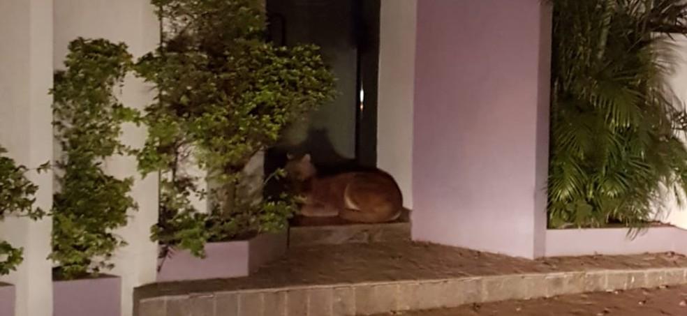 Animal estava deitado em frente a uma clínica em Mineiros do Tietê (SP) (Foto: Corpo de Bombeiros/Divulgação)