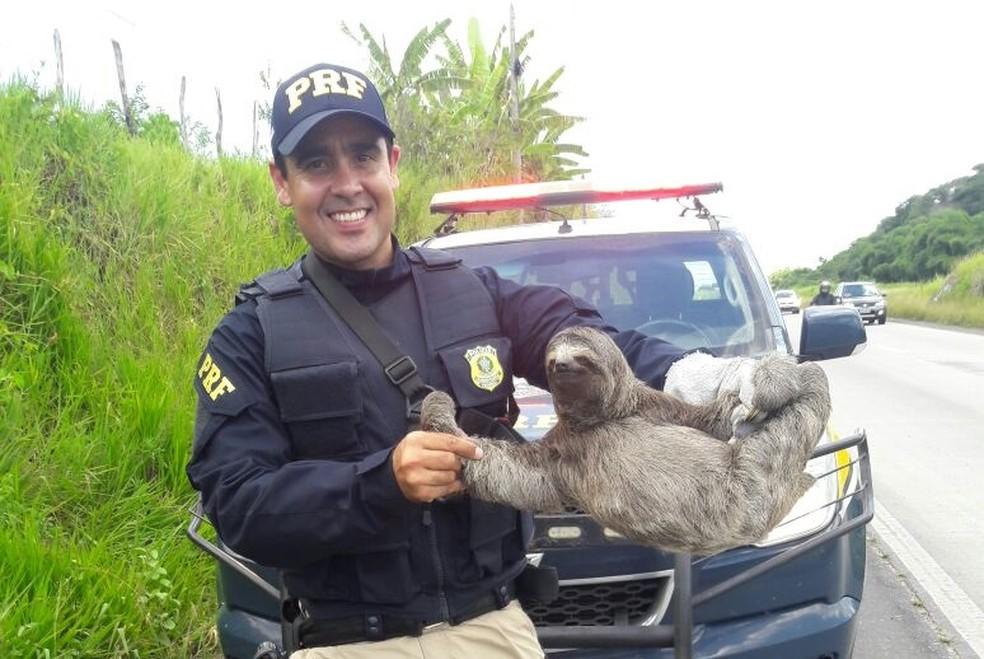 Bicho-preguiça foi resgatado por agentes da PRF que faziam ronda na rodovia (Foto: PRF/Divulgação)