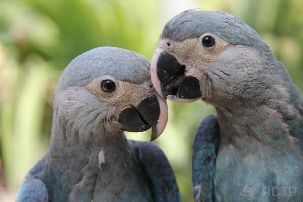 Ararinhas azuis criadas na Alemanha serão mandadas de volta para o Brasil — Foto: Association for the Conservation of Threatend Parrots (ACTP)/ Divulgação