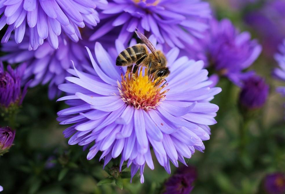 Abelhas são responsáveis pela polinização de 70% das culturas — Foto: Pixabay/Divulgação