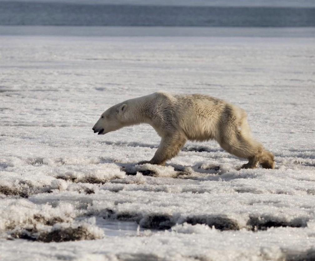 Urso-polar é visto bem magro perto de Tilichiki, na Rússia, a centenas de quilômetros de seu habitat natural, em foto de 16 de abril de 2019 — Foto: Alina Ukolova/AP/Arquivo
