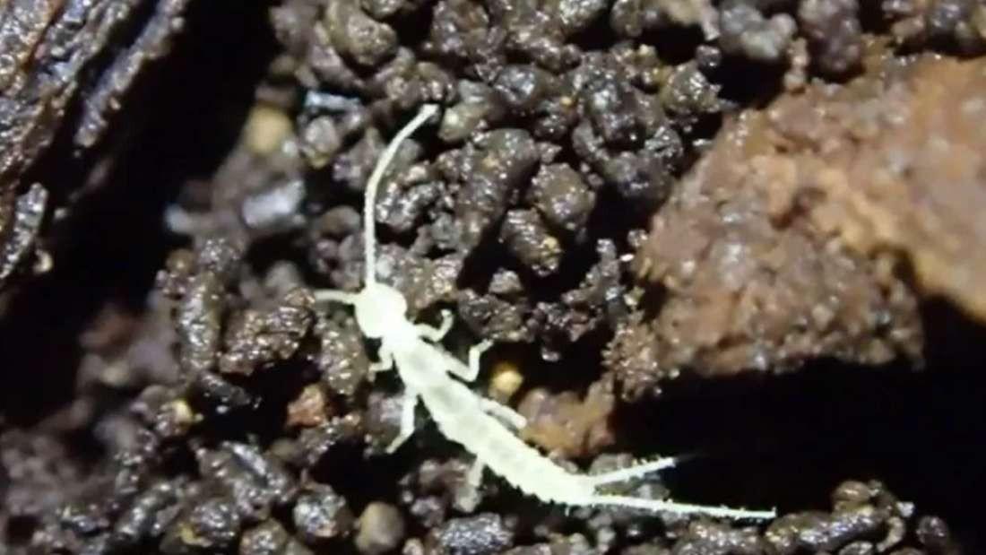 Espécie foi encontrada na ilha de Vancouver, no Canadá (Foto: Reprodução/ Youtube)