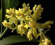 Seleção de orquídeas que dão água na boca