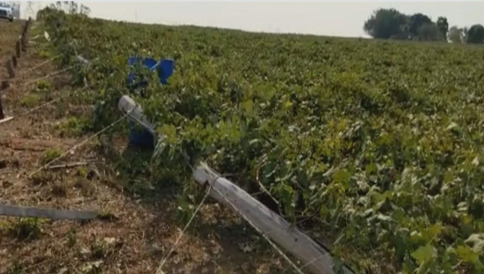 Maior parte da produção de uvas foi comprometida devido o temporal — Foto: Reprodução/Rede Amazônica