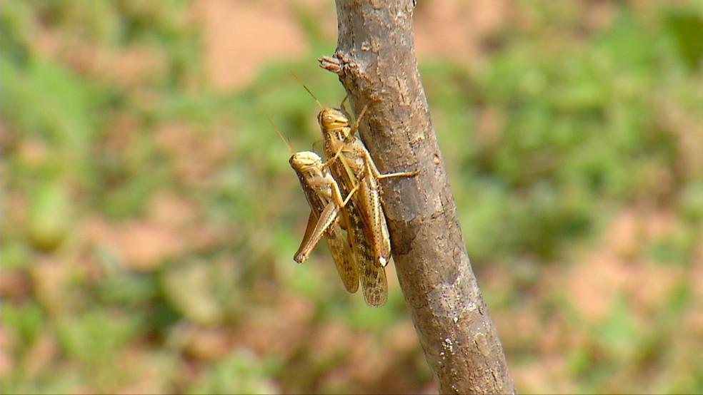 Nem veneno afastou as pragas das plantações de caju, em Serra do Mel, RN (Foto: Thiago Messias/ Inter TV Costa Branca )