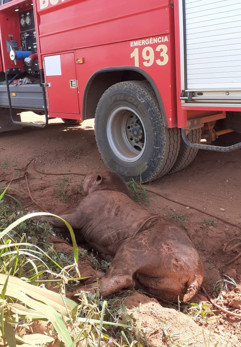 Anta é resgata após ser baleada e ficar atolada em valeta em MT — Foto: Divulgação