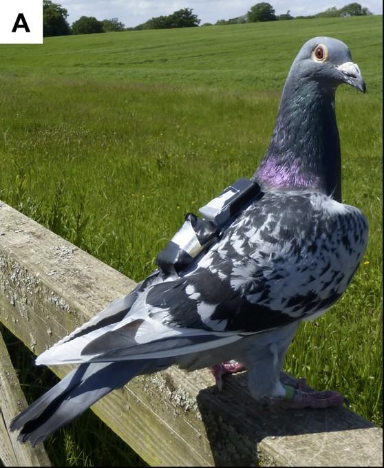 A equipe usou GPSs de alta frequência e acelerômetros para medir como as pombas mudam a frequência do bater de asas ao voar em pares, em comparação com quando estão sozinhas. (Foto: PLOS)