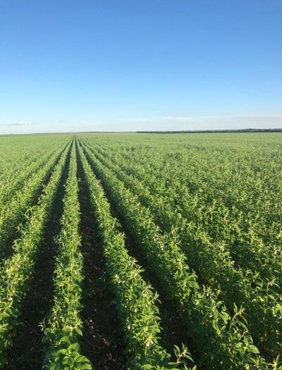 Plantação de gergelim em Mato Grosso (Foto: Jailson Ligio/Arquivo pessoal)