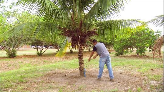 Veja dicas para adubar o coqueiro